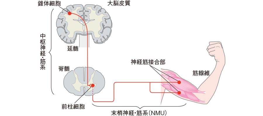 運動神経の伝導路