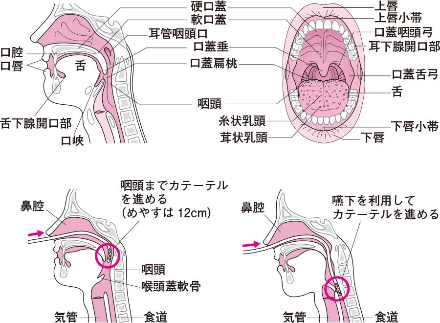 口腔の構造と挿入方法