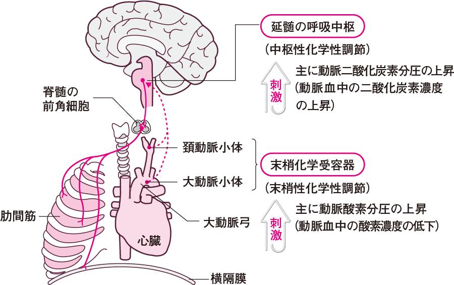 主な呼吸の調節