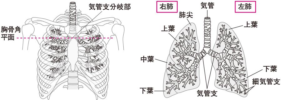 肺の構造と呼吸音の聴診