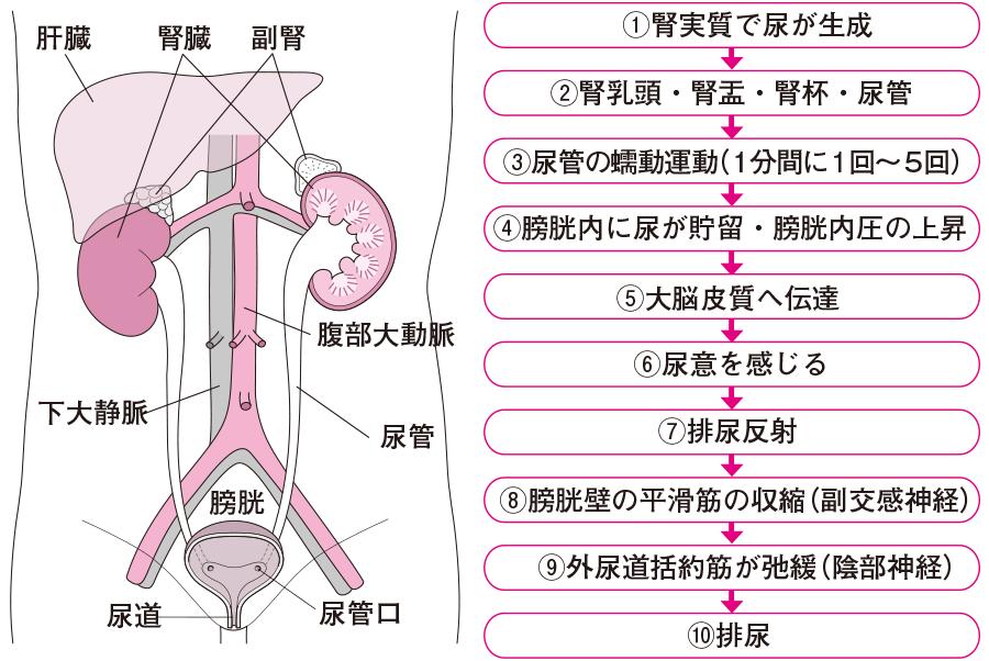 排尿のメカニズム