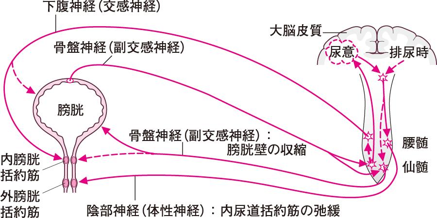 膀胱・尿道の神経支配