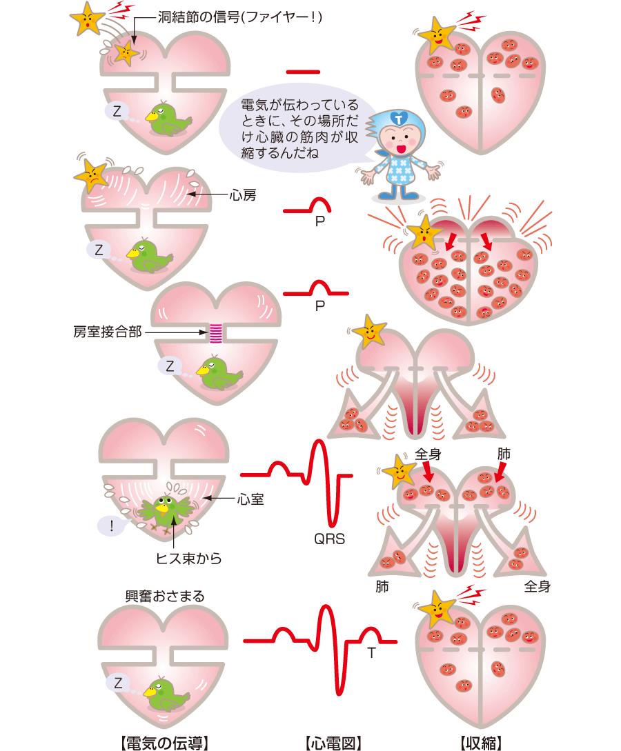 心臓の電気伝導と収縮と心電図の関係
