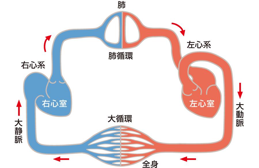 肺循環と大循環(体循環)