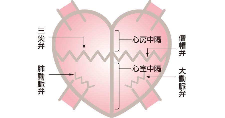 心臓にある弁と中隔