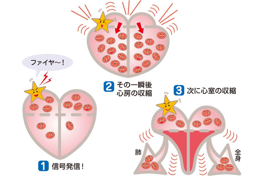 心臓の電気伝導と血液の流れ