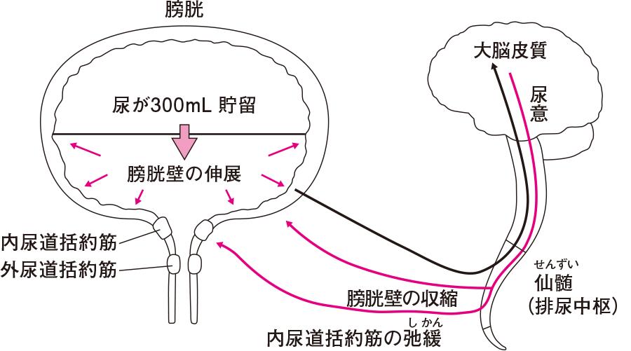 排尿の仕組み