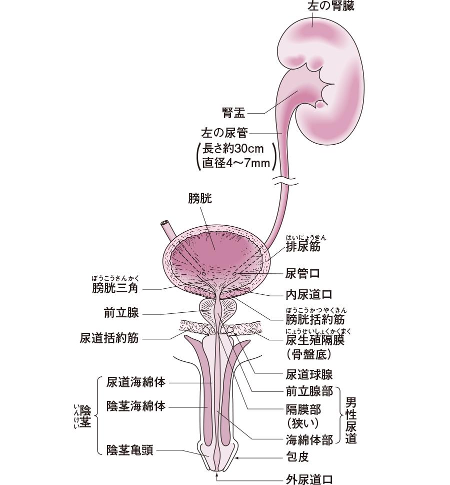 男性の泌尿器の構造