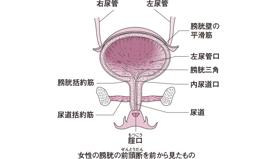 女性の泌尿器の構造