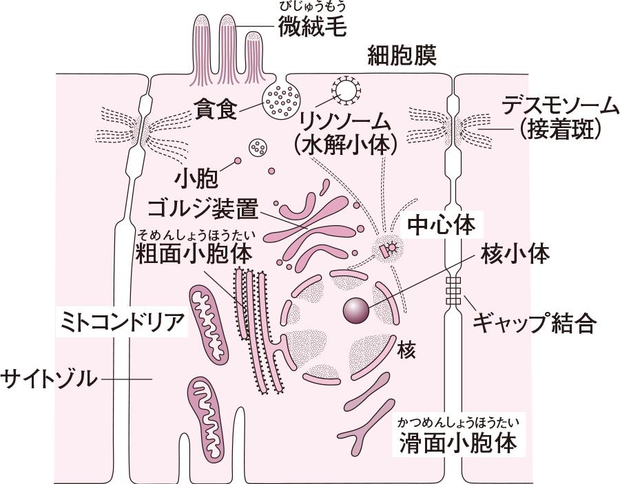 細胞の構造