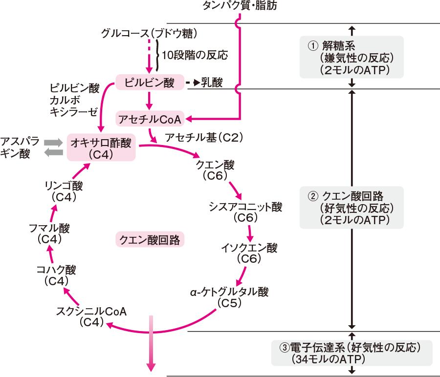 グルコースの分解とクエン酸回路