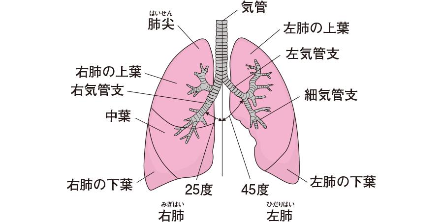 気管と気管支