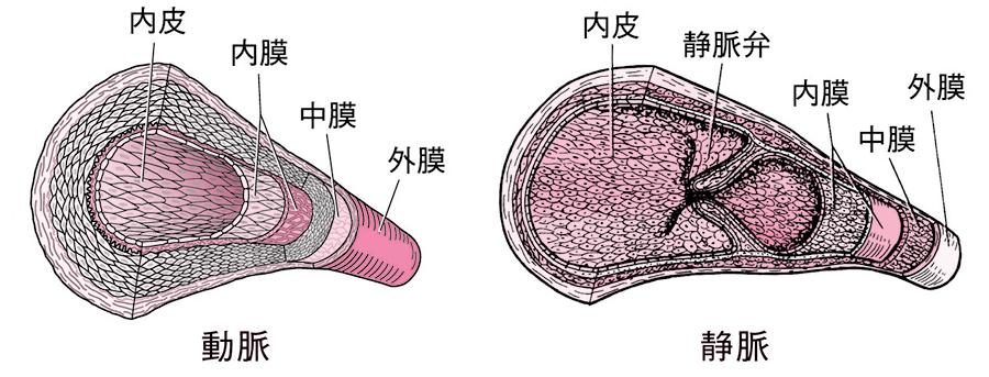 動脈と静脈の構造