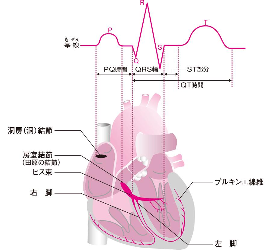 心電図波形と刺激伝道系