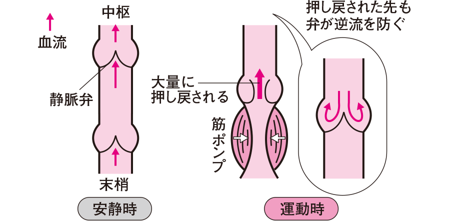 静脈弁の働き