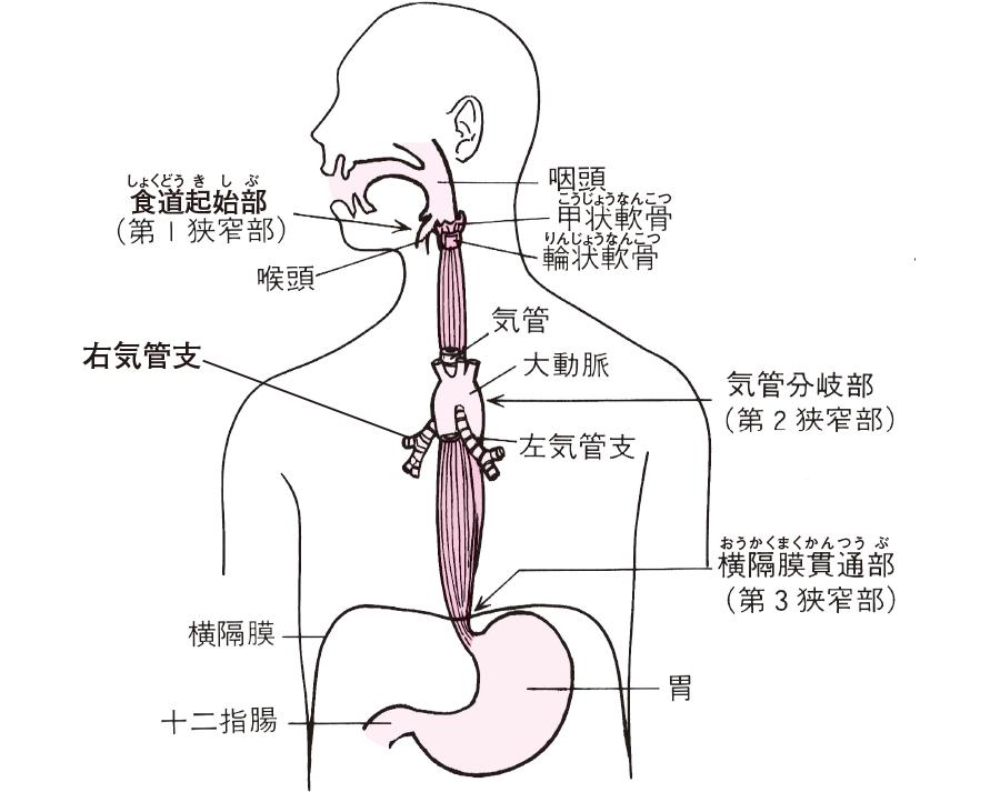 食道の生理的狭窄部