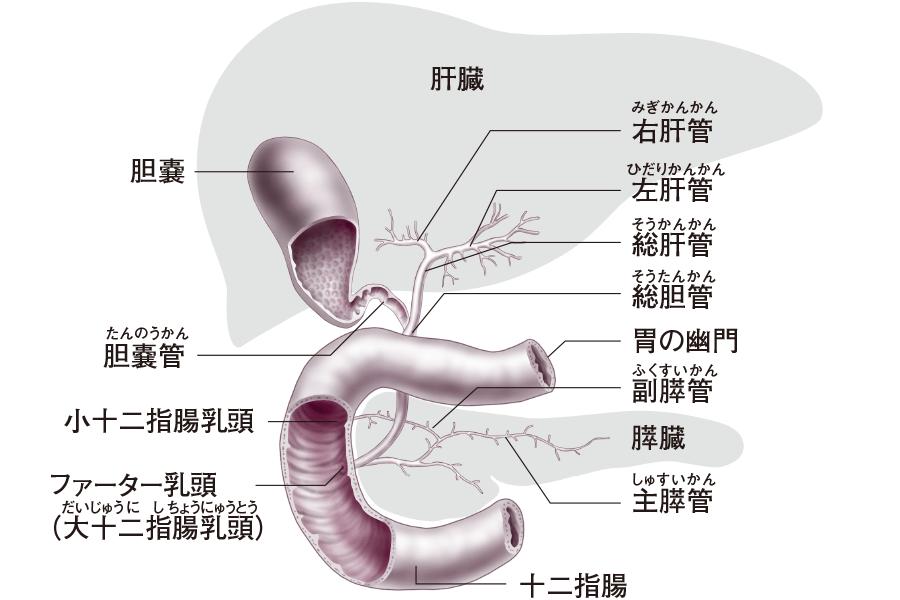 十二指腸と胆嚢