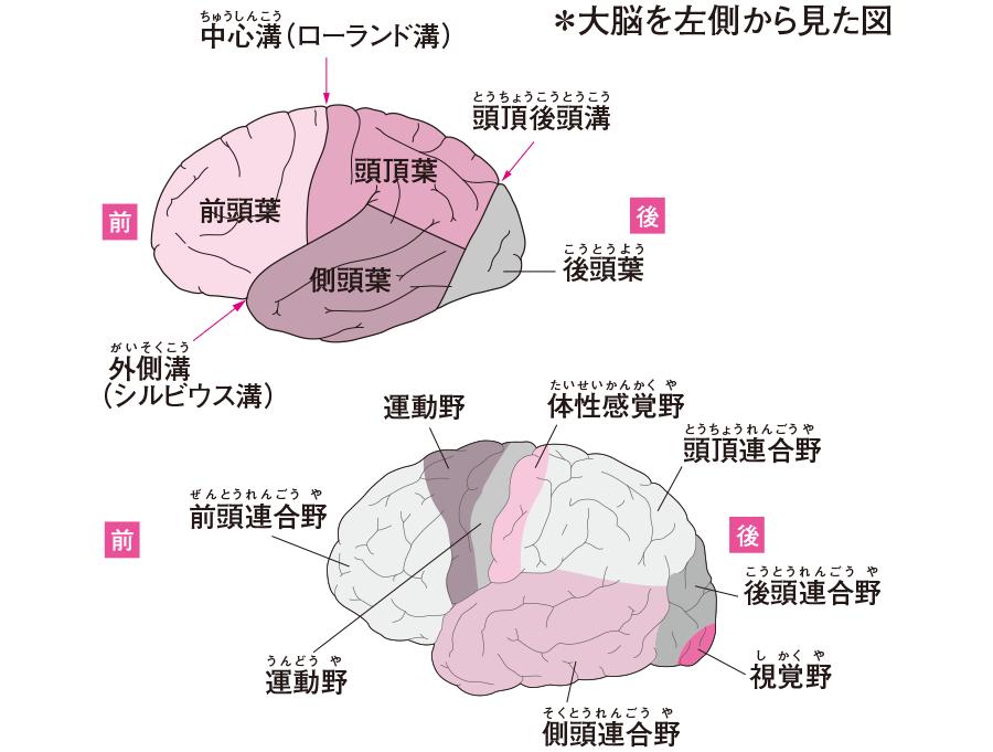 大脳の区分と大脳皮質の機能局在