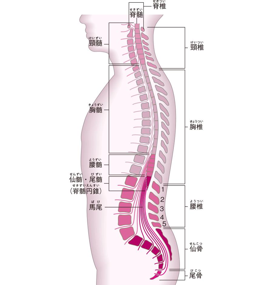 脊髄と脊椎