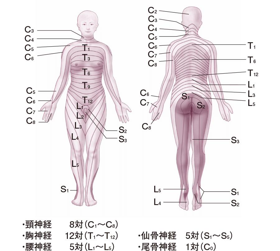 皮膚分節(デルマトーム)