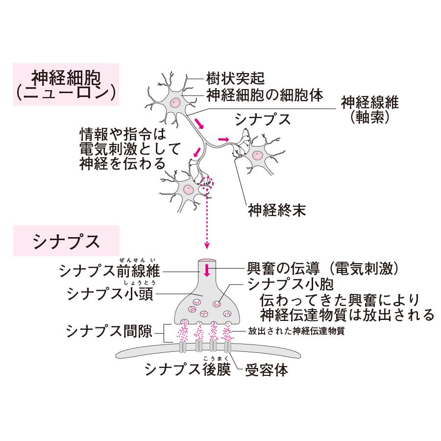 神経細胞(ニューロン)とシナプス