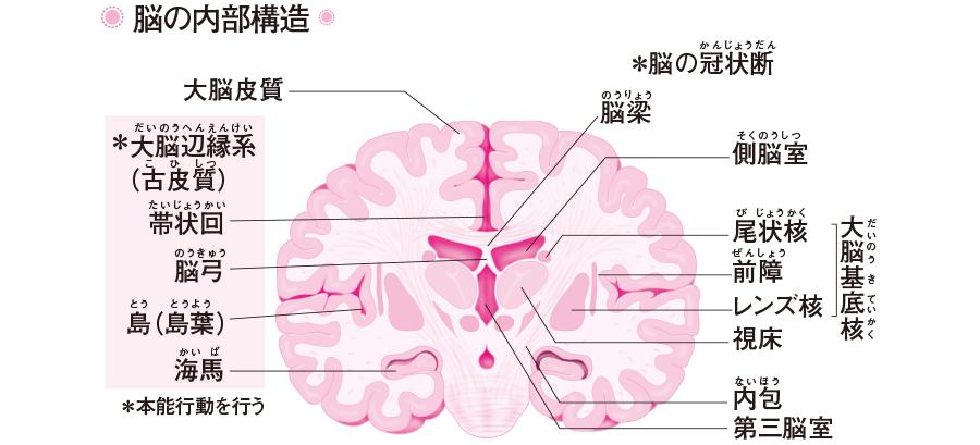 脳の内部構造