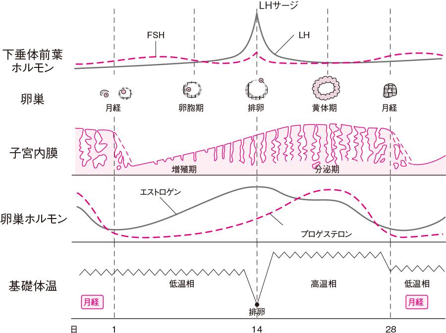 性周期(卵巣周期と月経周期)