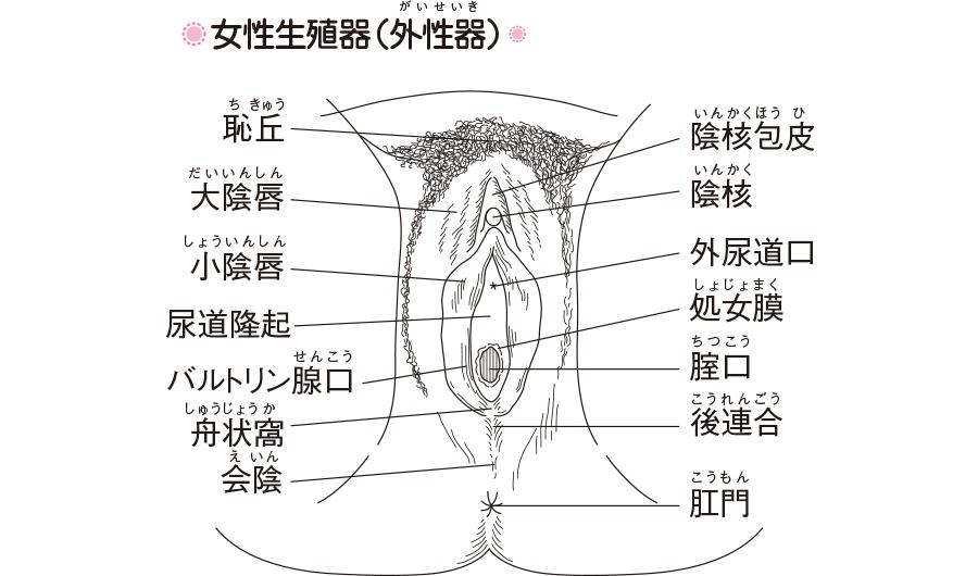 女性生殖器(外性器)
