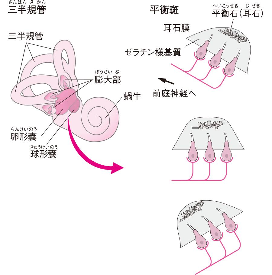 三半規管の構造と平衡斑の仕組み