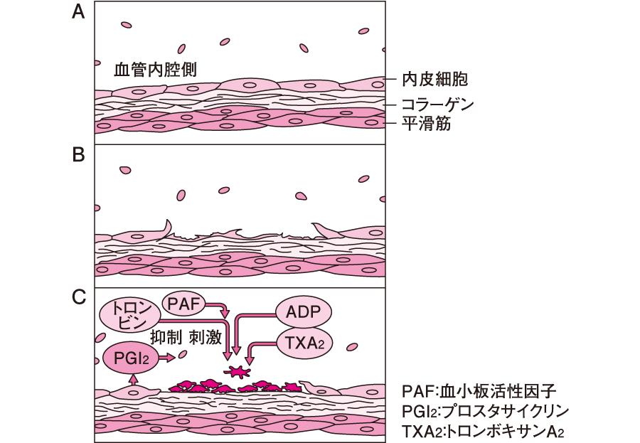 血小板凝集による止血過程