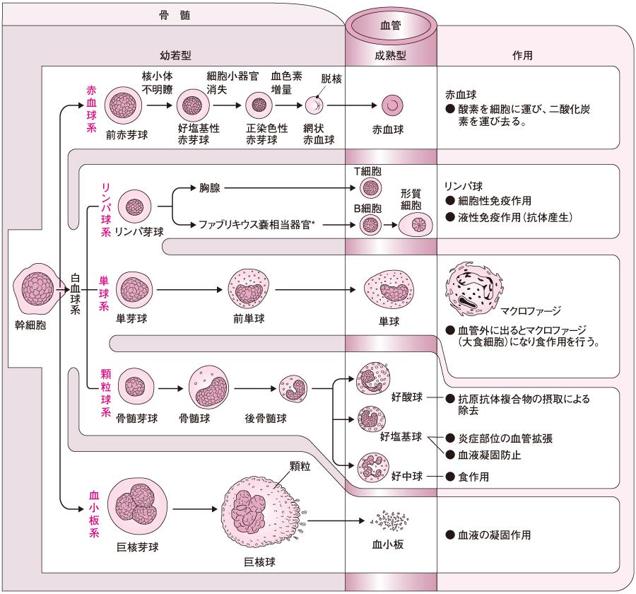 血球の系統と発達