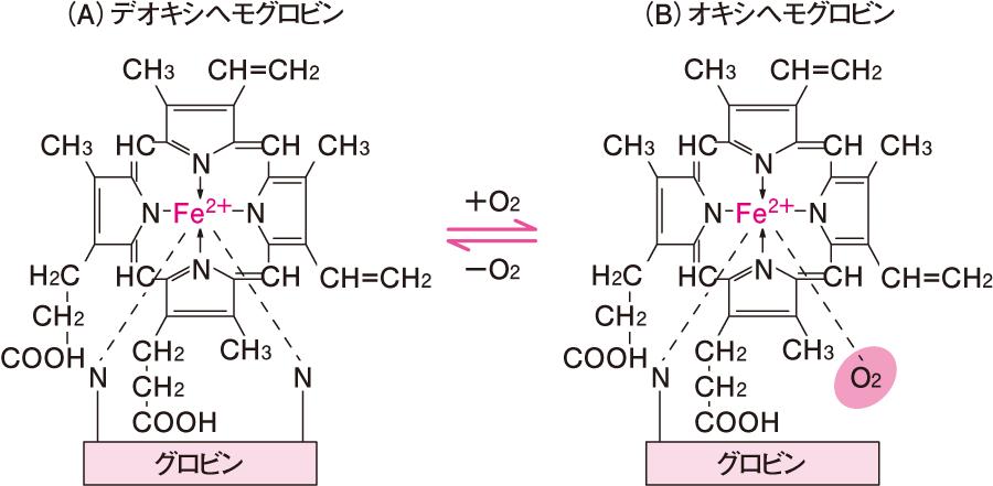 ヘムの化学構造と酸素結合部位