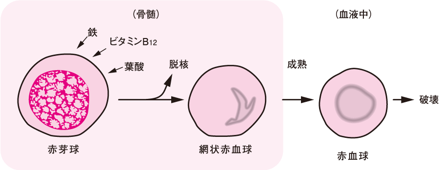 赤血球の成熟過程と必要成分