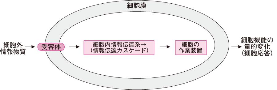 細胞外情報の受容から細胞応答(機能変化)に至るまでの流れ概略図