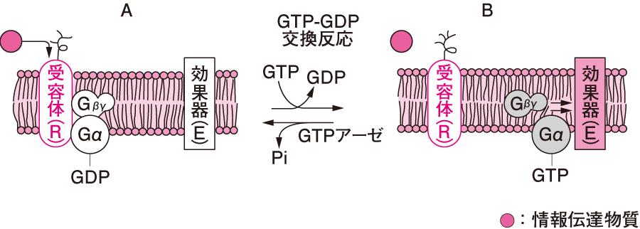 GTP結合タンパク質(Gタンパク質)を介する受容体から効果器への情報伝達