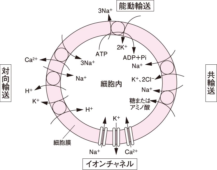 担体性輸送とイオンチャネル