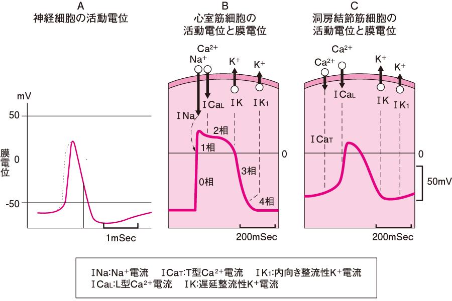 活動電位と膜電位