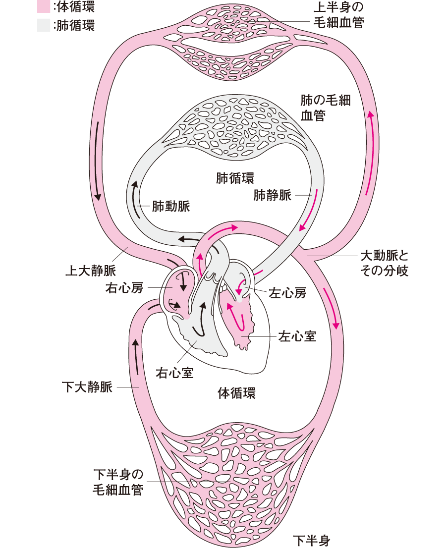 血液循環回路-体循環と肺循環