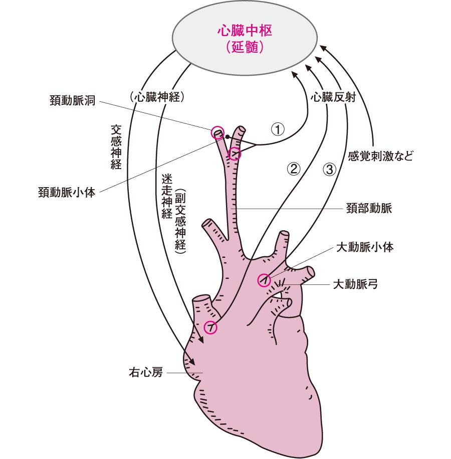 心臓の神経支配と心臓反射