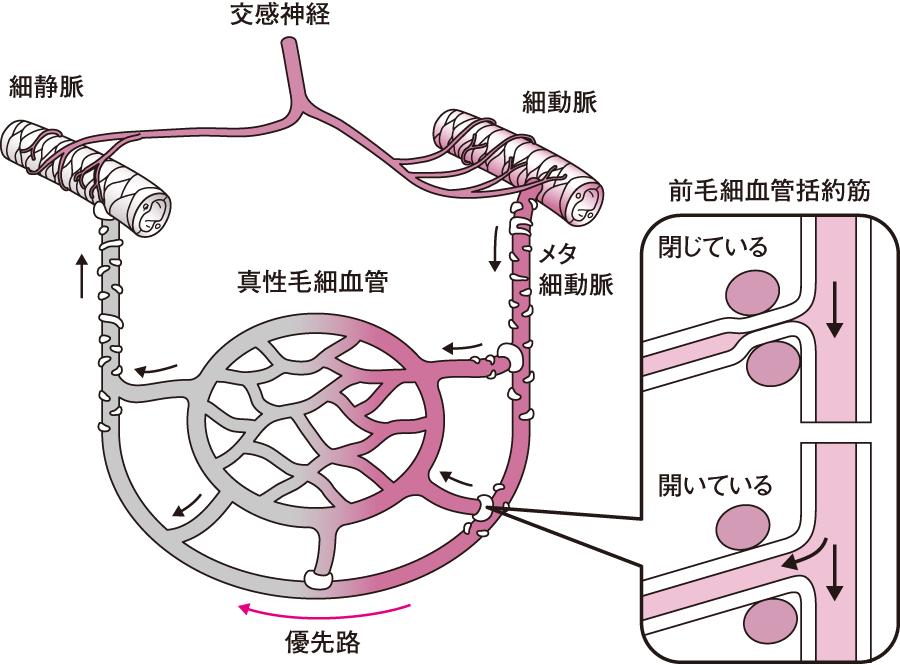 血液の分配と微小循環|循環|看...