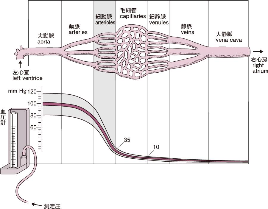 血管各部位の血圧