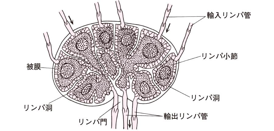 リンパ節の構造
