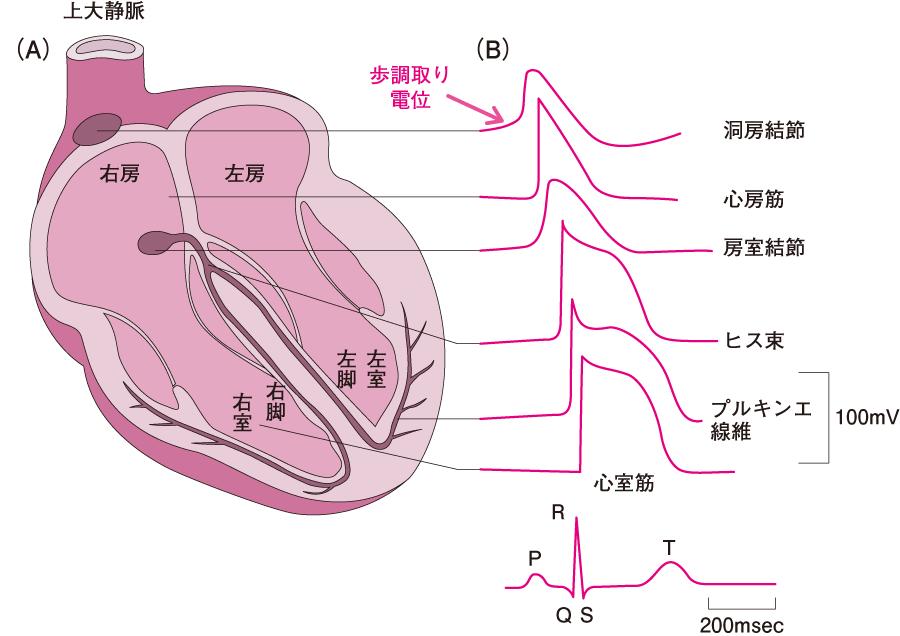 刺激伝導系と各部位の活動電位