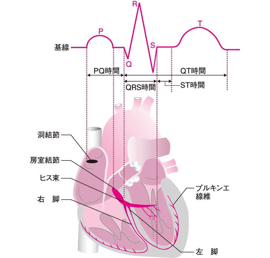刺激伝導系と心電図