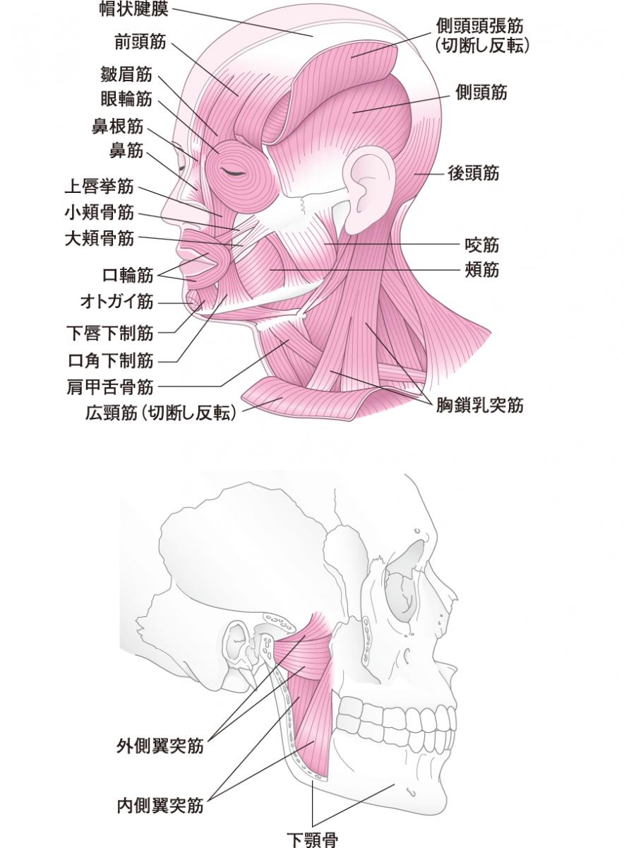 頭部の筋と咀嚼筋