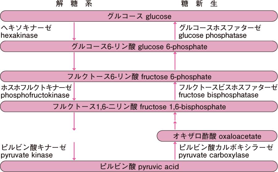 解糖系と糖新生