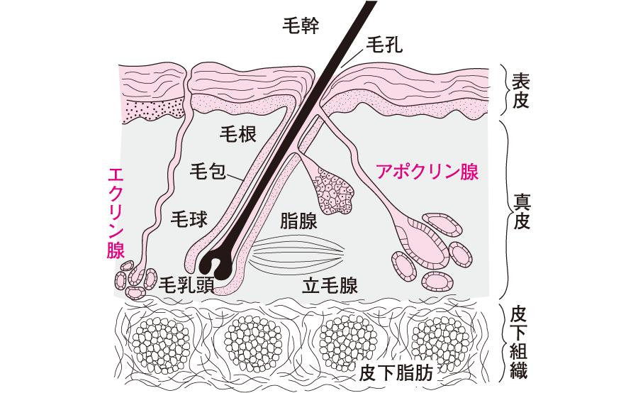 エクリン腺とアポクリン腺