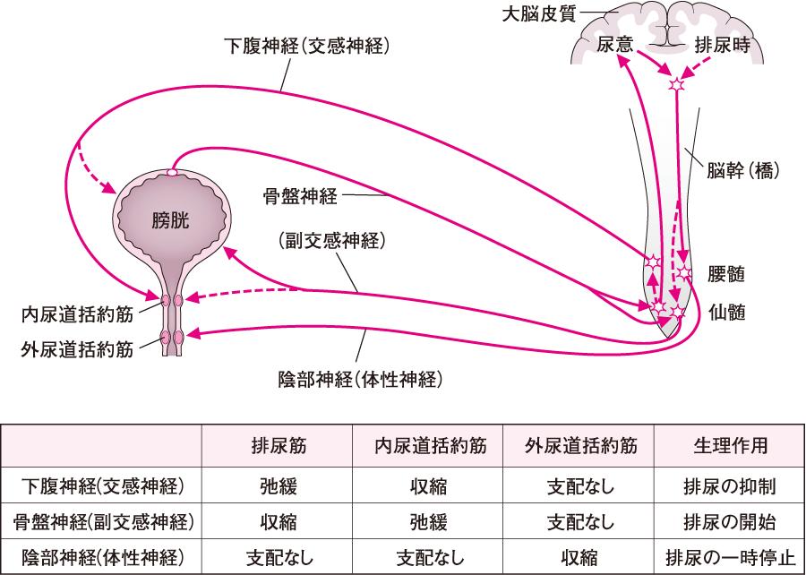 排尿の神経支配