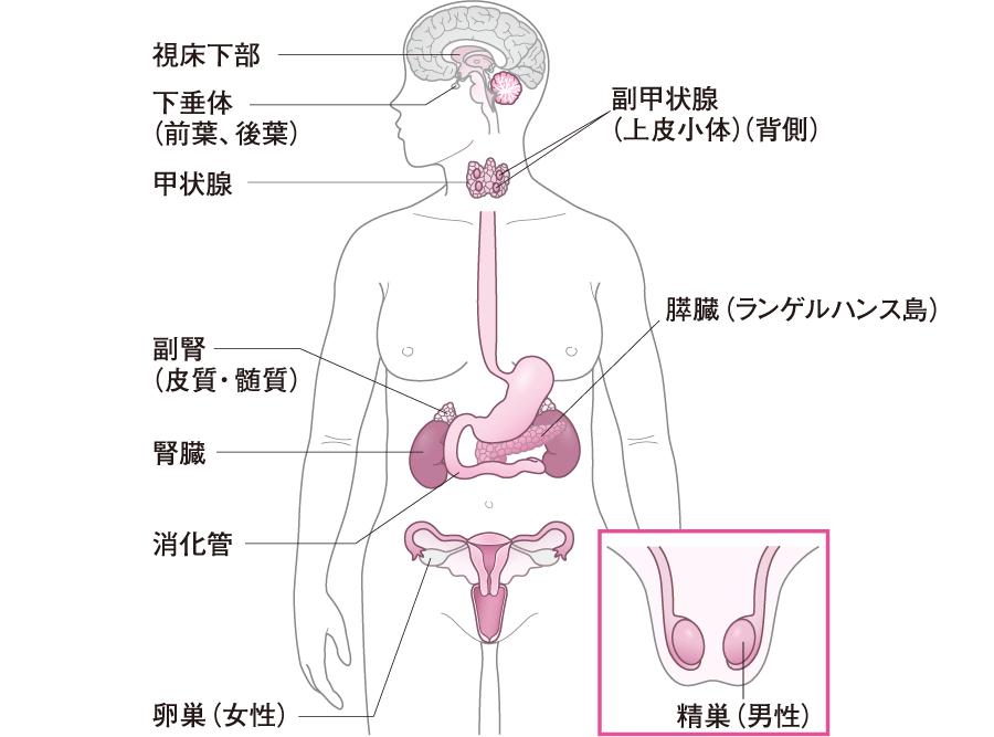 内分泌器官
