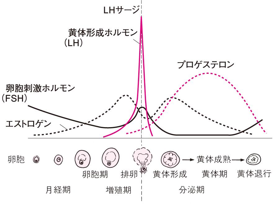 月経周期におけるホルモンの分泌